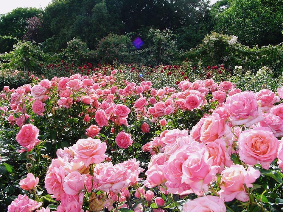Риджентс-парк (Regent's Park) в Лондоне .Сад роз королевы Мэри