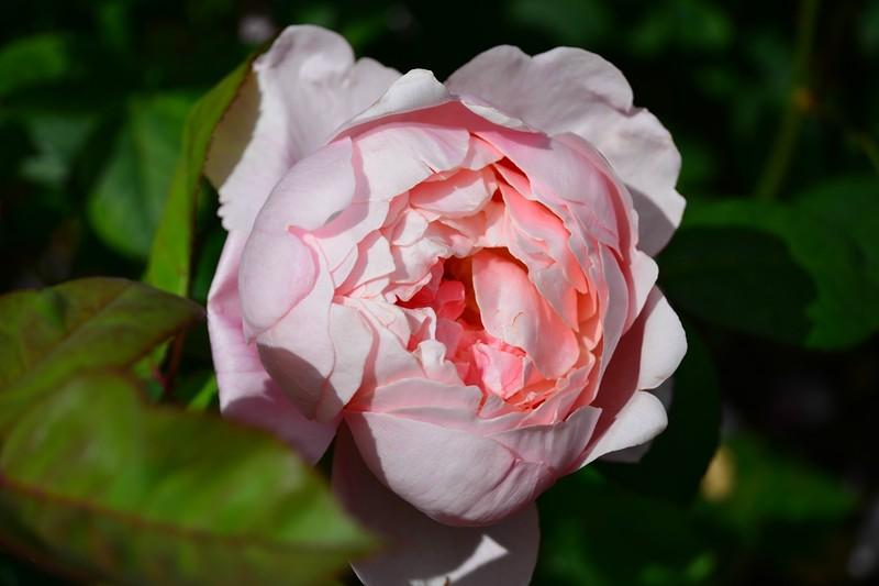 Риджентс-парк (Regent's Park) в Лондоне . Сад роз королевы Мэри