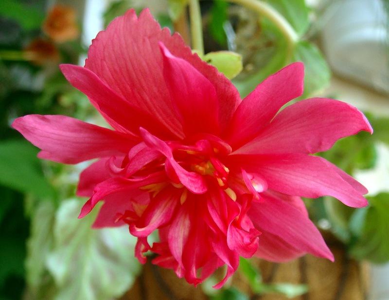 Бегония ампельная: выращивание, размножение, уход