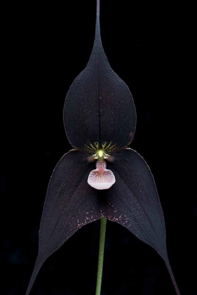 Дракула (Dracula Orchidaceae)