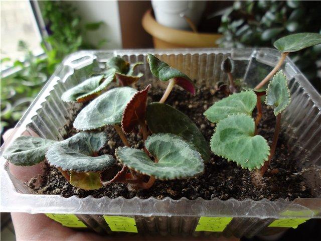 Цикламены. Выращивание из семян