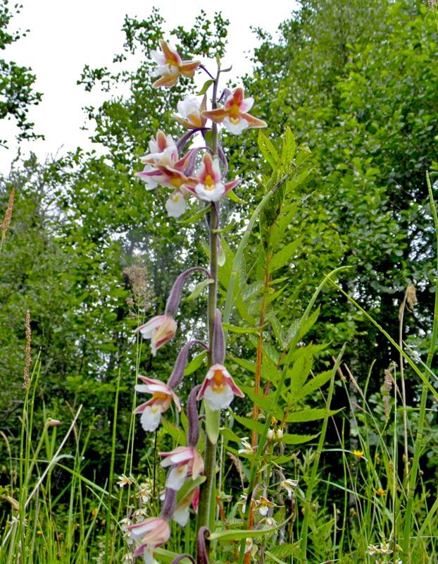 Редкие виды орхидей. Дремлик болотный