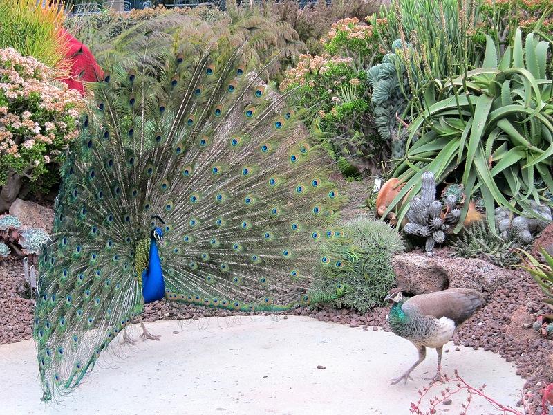 Рай для павлинов. Ботанический сад округа Лос-Анджелес