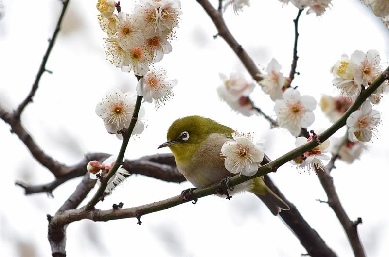 Умэ мацури или Фестиваль цветения сливы. Японский соловей Угуйсу