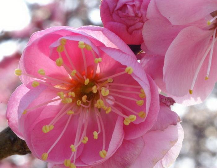 Умэ мацури или Фестиваль цветения сливы