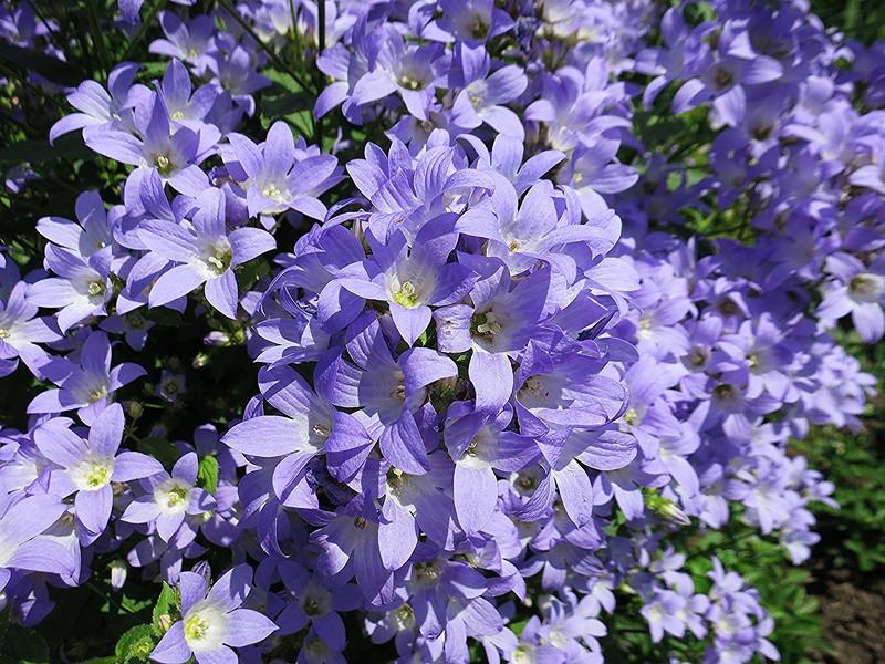 Колокольчик молочноцветковый. Campanula lactiflora Gloaming Колокольчик молочноцветковый Глоумин