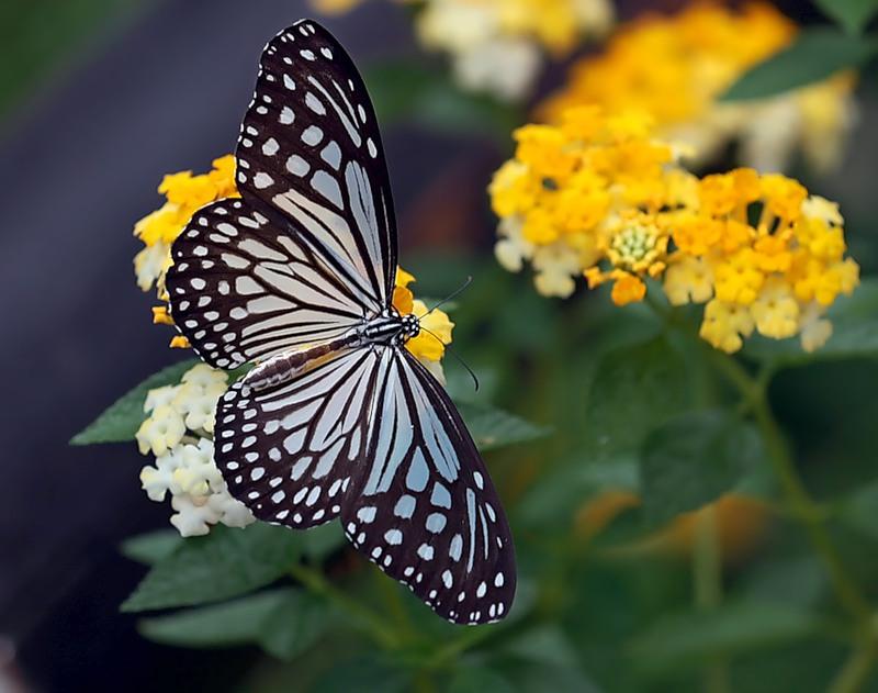 Бабочка Воздушный змей (Idea leuconoe)