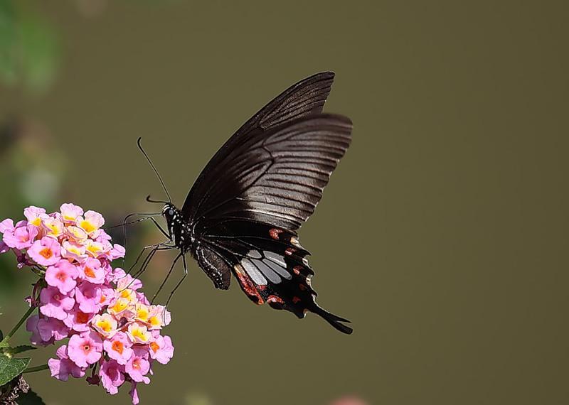 Бабочка Махаон Papilio polytes
