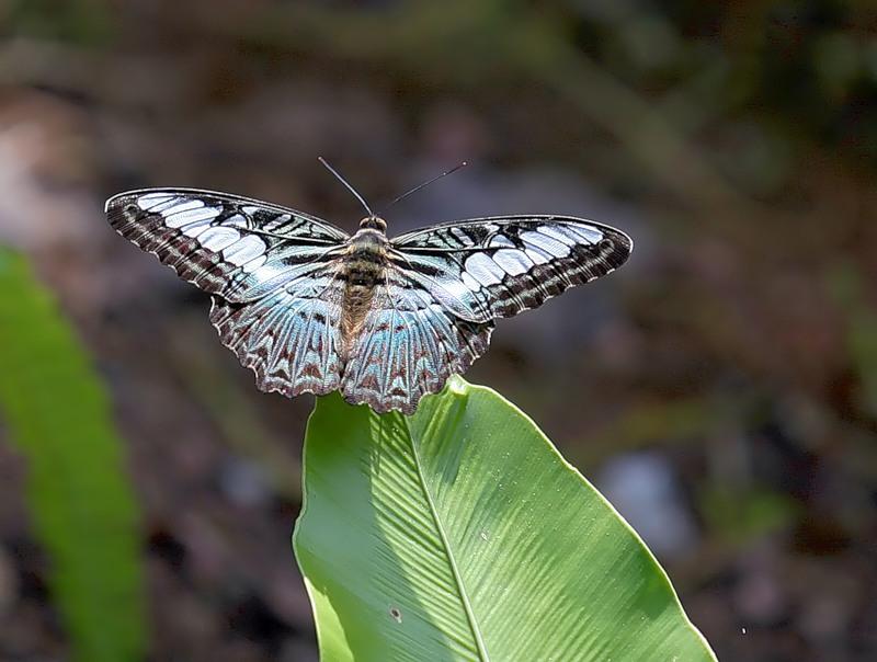 Бабочка Рarthenos sylvia