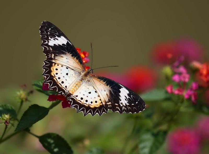Бабочка Цетозия гипсея (Cethosia hypsea)