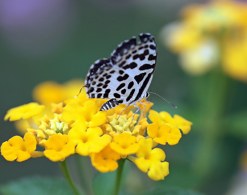 Бабочка Castalius rosimon