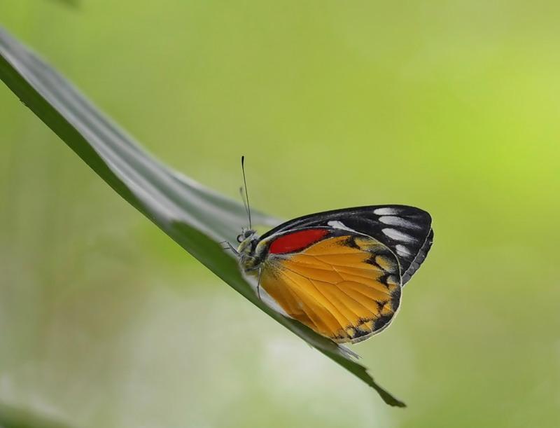 Бабочка Delias hyparete