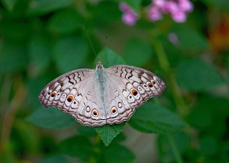 Бабочка Junonia atlites