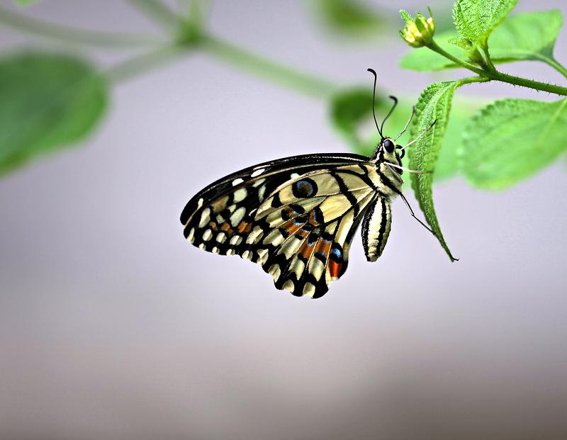 Бабочка Papilio demoleus