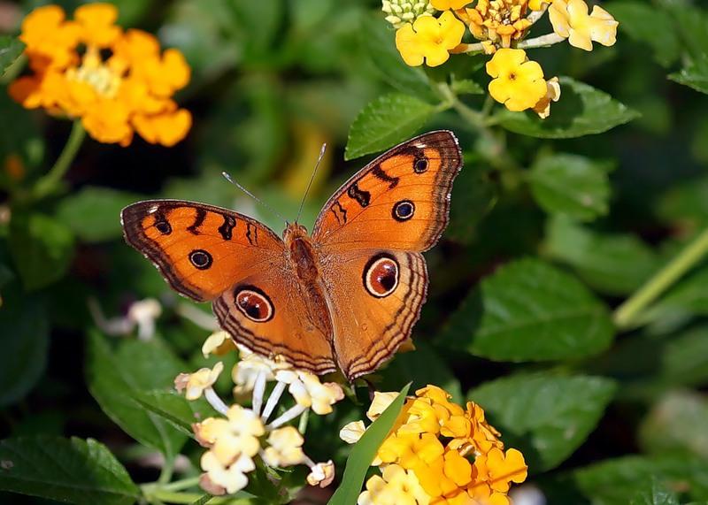Бабочка Precis almana