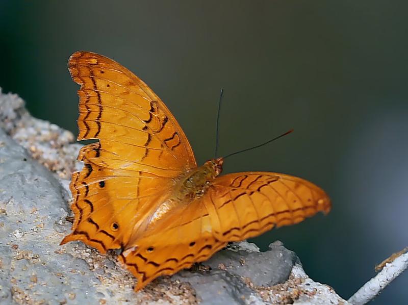 Бабочка Vindula erota