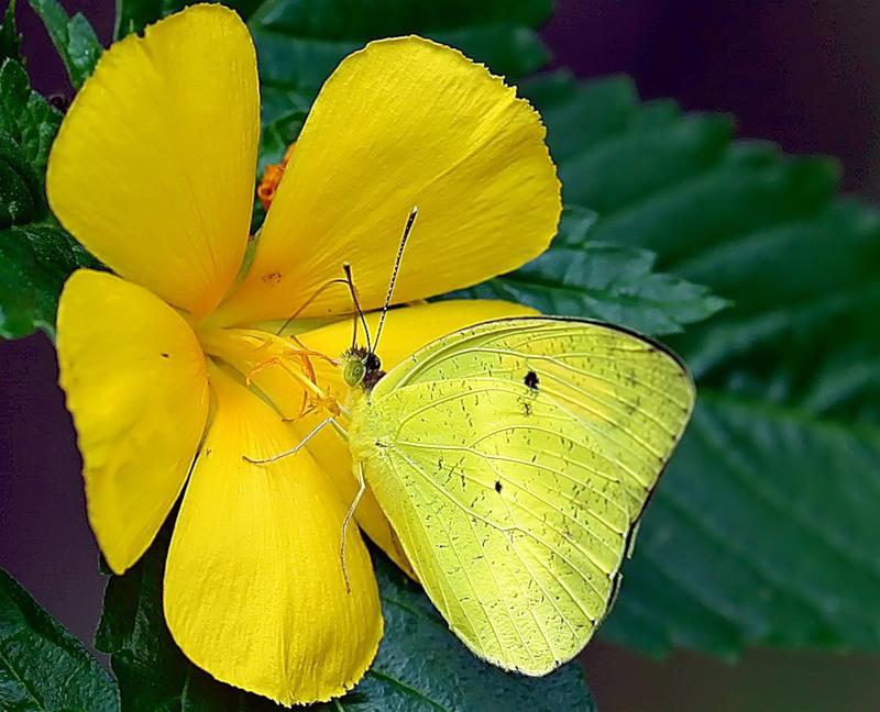 Бабочки Тайланда
