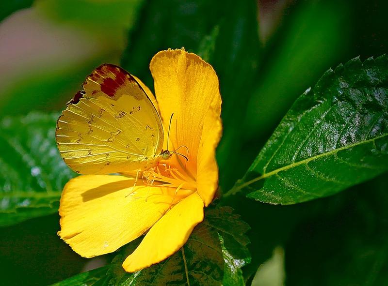 Лимонная бабочка