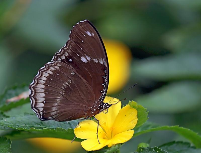 Лунная бабочка (Hypolimnas bolina)  со сложенными крыльями
