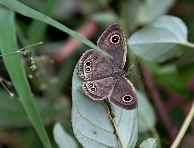Бабочка Ragadia crisilda