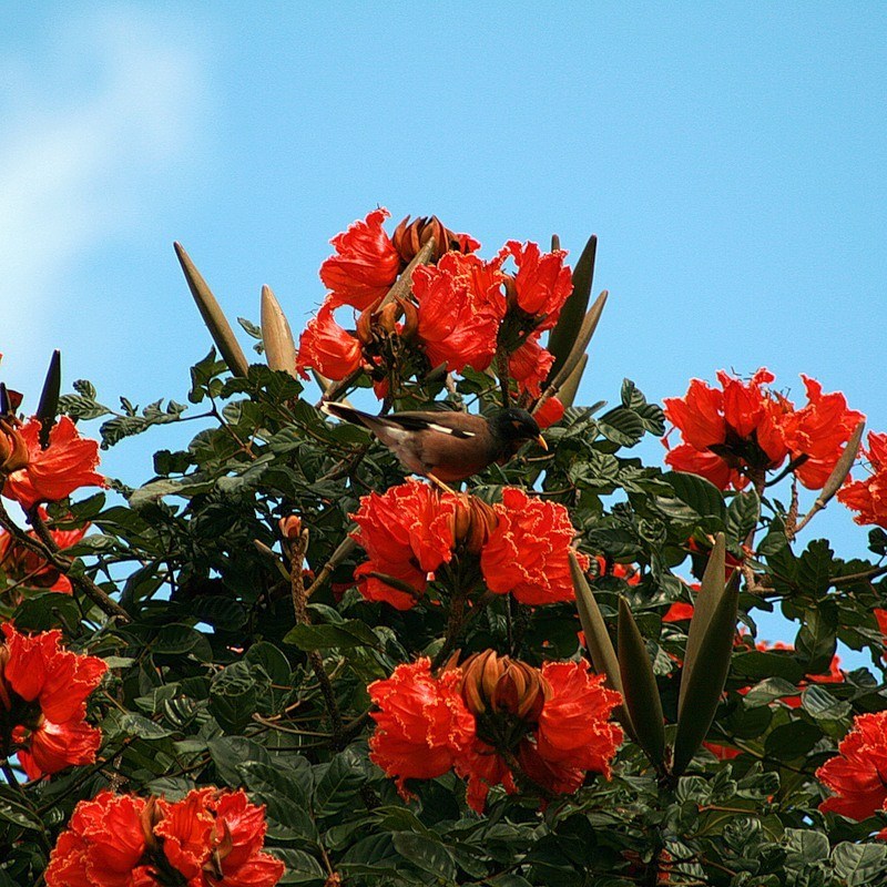 Спатодея колокольчатая, тюльпанное дерево!