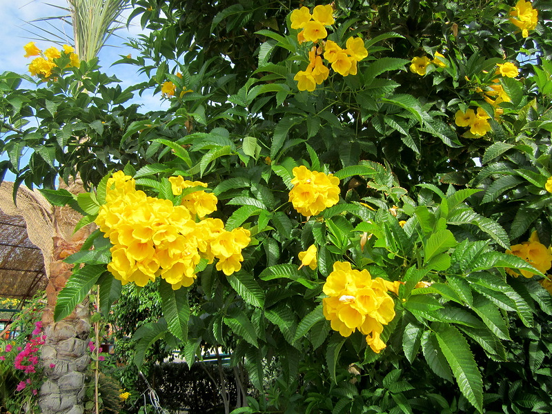 Текома прямостоячая Желтый тюльпанный куст (золотые колокольчики)