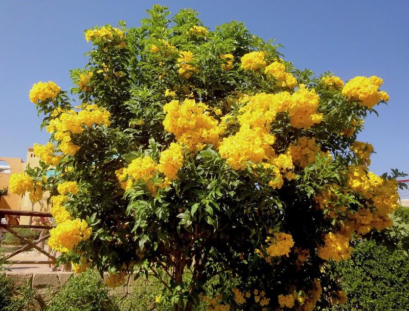 Желтый тюльпанный куст (золотые колокольчики). Текома прямостоячая