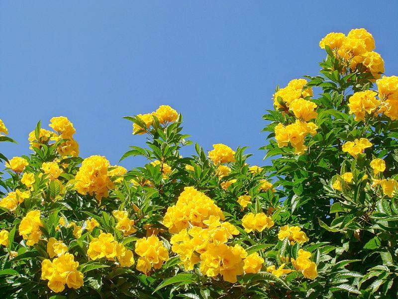 Текома прямостоячая. Желтый тюльпанный куст (золотые колокольчики)