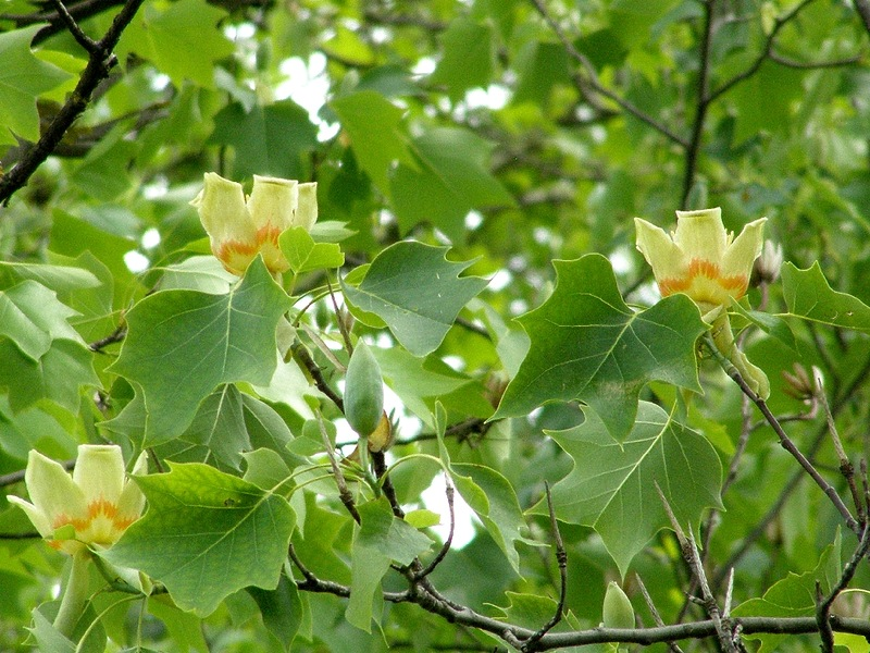 Тюльпанное дерево, или Лириодендрон тюльпановый