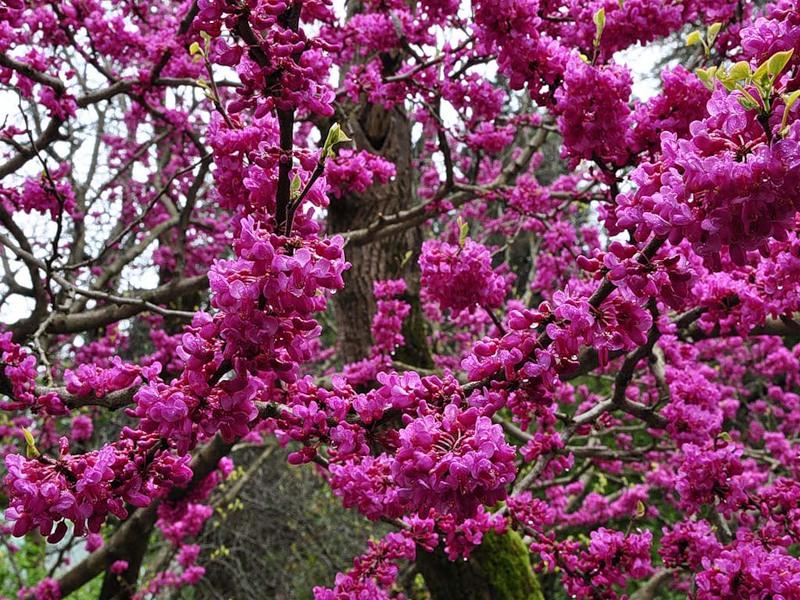 Цветет тюльпанное дерево