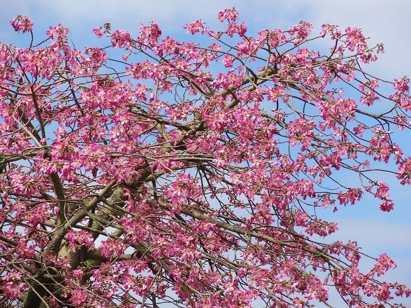 Хоризия великолепная, или бутылочное дерево