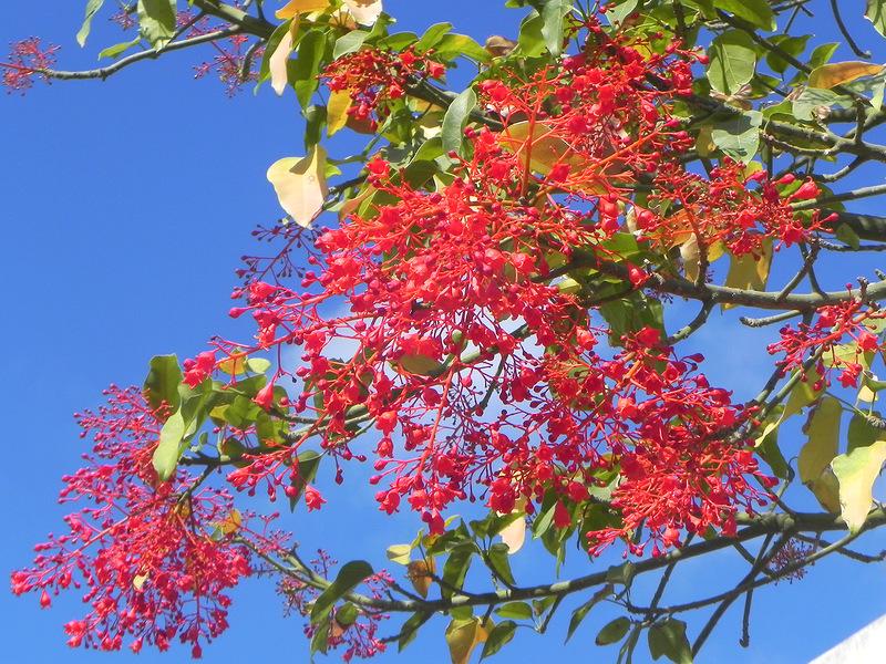 15 самых красиво цветущих деревьев планеты braxixiton-klenolistnyj