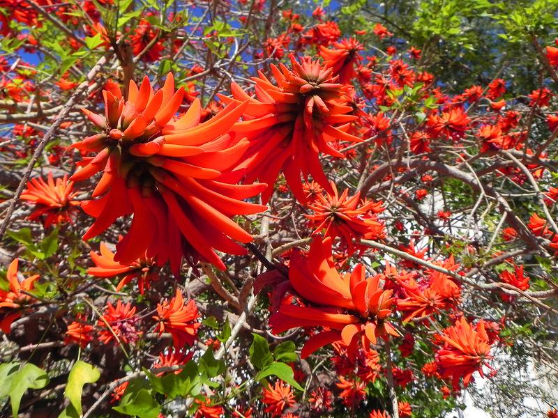 korallovoe-derevo-eritrina