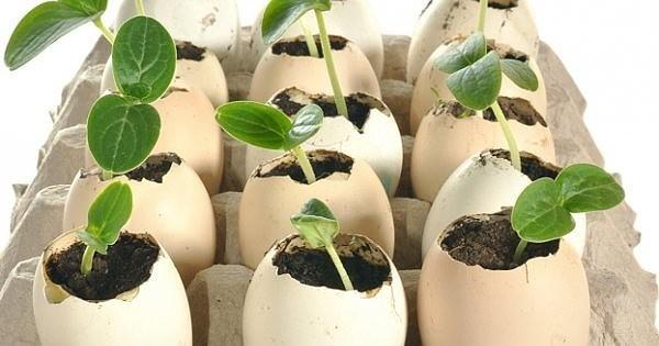 Как получить ранний урожай огурцов