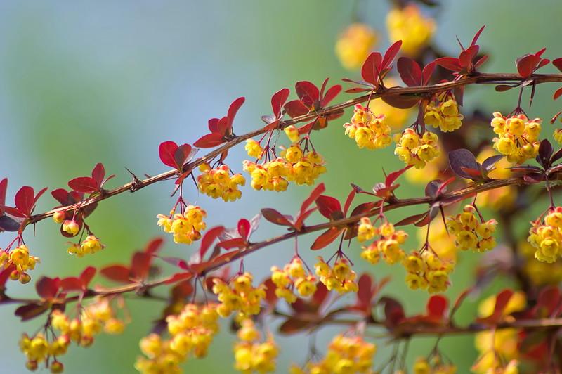 Барбарис, колючий кустарник для сада. Цветы барбариса