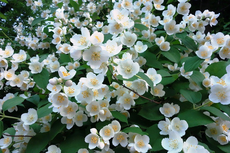 Чубушник, или садовый жасмин. Секреты выращивания