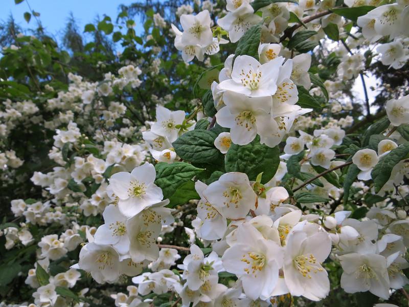 Чубушник, садовый жасмин. Секреты выращивания