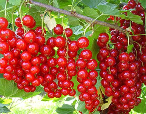 Смородина красная. Ответы на главные вопросы садовода и огородника
