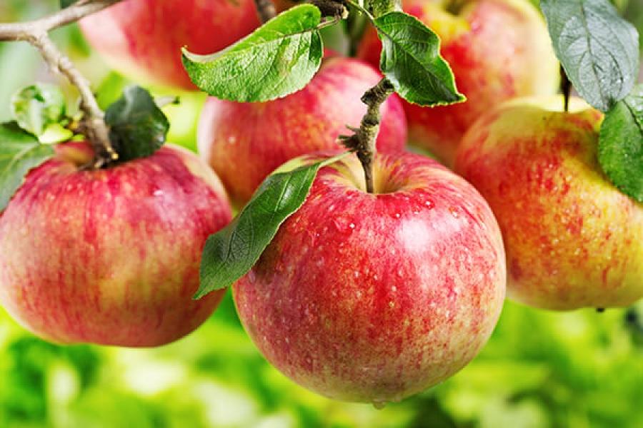 Яблоня. Лучшие ответы на главные вопросы садовода и огородника
