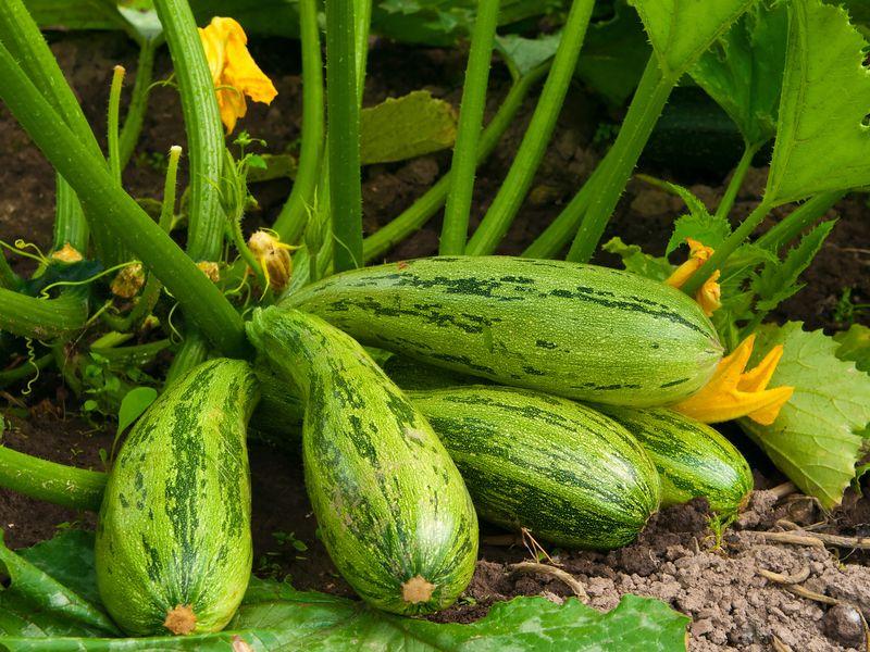 Кабачки, основные советы по выращиванию